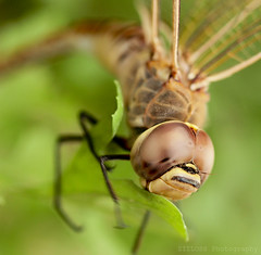 Dragonfly 2 (ZiZLoSs) Tags: macro canon eos dragonfly 7d usm f28 aziz ef100mmf28macrousm abdulaziz  ef100mm zizloss  3aziz canoneos7d almanie abdulazizalmanie httpzizlosscom