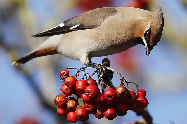 Waxwing Close Up
