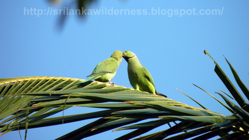 Rose-ringed Parakeet (Psittacula krameri krameri)