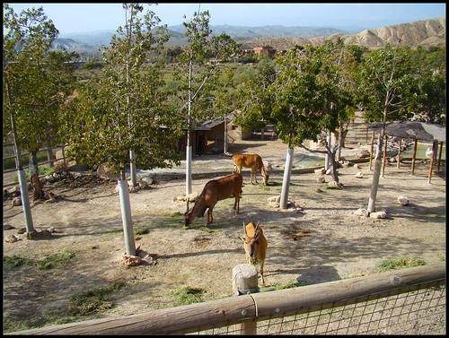 Impalas en Tabernas