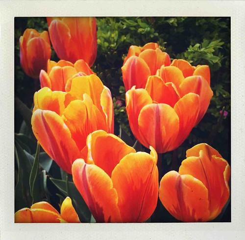 orange spring tulip
