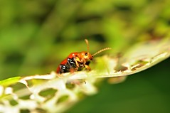 don't go away (DOLCEVITALUX) Tags: insects philippines flora fauna bug bugs leafeatinginsect leafeatingbug