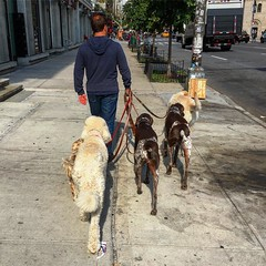 Dog Walker (sfPhotocraft) Tags: dogs newyork dogwalker chelsea nyc