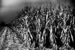 Era un  divertimento da piccoli il perdersi in mezzo ai campi di granoturco! (Gianni Armano) Tags: era un divertimento da piccoli il perdersi mezzo ai campi di granoturco foto san giuliano nuovo alessandria piemonte italia gianni armano photo