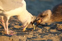 Feeding (dVaffection) Tags: feeding wildlife beach seagull vancouver canada englishbay bird