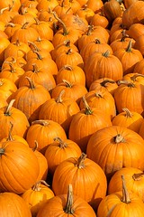 Pumpkins Everywhere (Karen_Chappell) Tags: orange pumpkin food nature autumn fall nfld farm newfoundland lestersfarm canada atlanticcanada thanksgiving halloween filltheframe