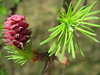 Pine Flower (Sue2804) Tags: pink flower macro green nature pine spring ngc surprise needles pineflower