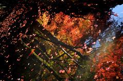 [フリー画像] 自然・風景, 湖・池, 紅葉, カエデ・モミジ, 201012061900