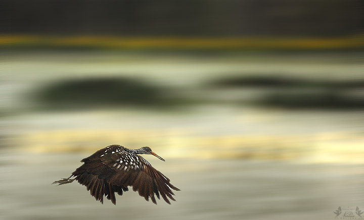 Limpkin Flight