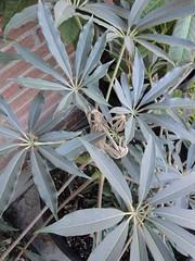 Schefflera taiwaniana under eves