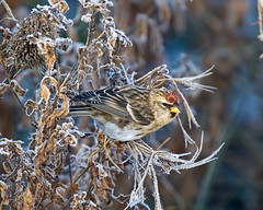 Redpoll 3 (Andrew Haynes Wildlife Images ( away for a while )) Tags: bird nature wildlife finch coventry warwickshire redpoll bloodyfreezing brandonmarsh ajh2008