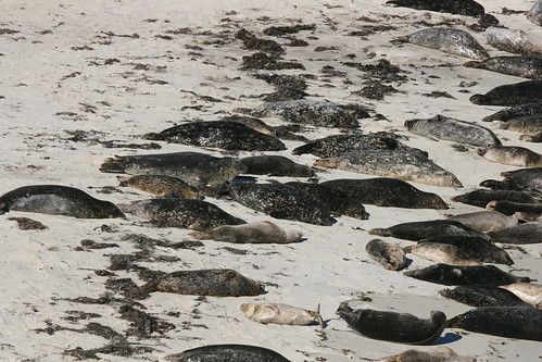 Seals at La Jolla, California