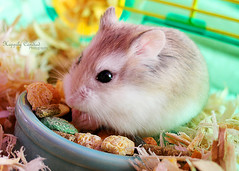 Jacques Toupee, Seed Junkie (Happily Candied) Tags: cute love animal kawaii toupee hammy robohamster jacquestoupee