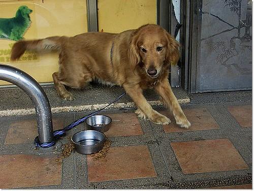 「助認養」被遺棄綁在桃園某動物醫院門口的黃金獵犬小姐,被通報要暴力隊來抓走,只好硬接下,徵醫療支援助認養,20101207