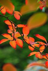 DeLIGHTful Autumn Colour at Sheffield Park & Garden (antonychammond) Tags: uk autumn light england leaves nationaltrust eastsussex potofgold fiatlux sheffieldparkgarden flickraward firsttheearth estremità nikonflickraward beyondbokeh esenciadelanaturaleza