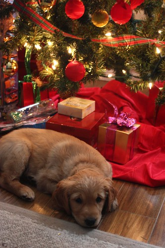 A Christmas Puppy - Life at Cloverhill