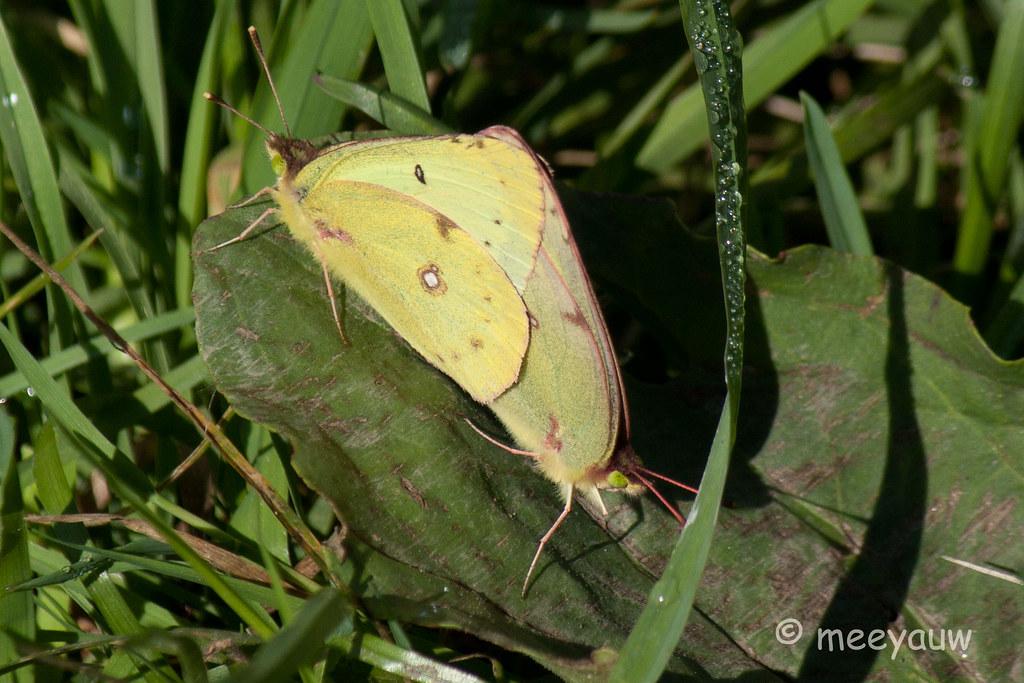 clouded sulphur butterfly  12.jpg