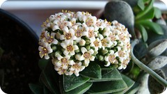 Crassula springtime (Sylvie Piccolotto) Tags: planta crassulaceae crassula suculenta