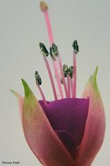Fuchsia 'Alison Patricia' (pennyeast) Tags: flower botanical fuchsia capetown papaalphaecho