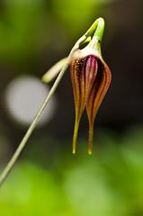 Masdevallia panguiensis