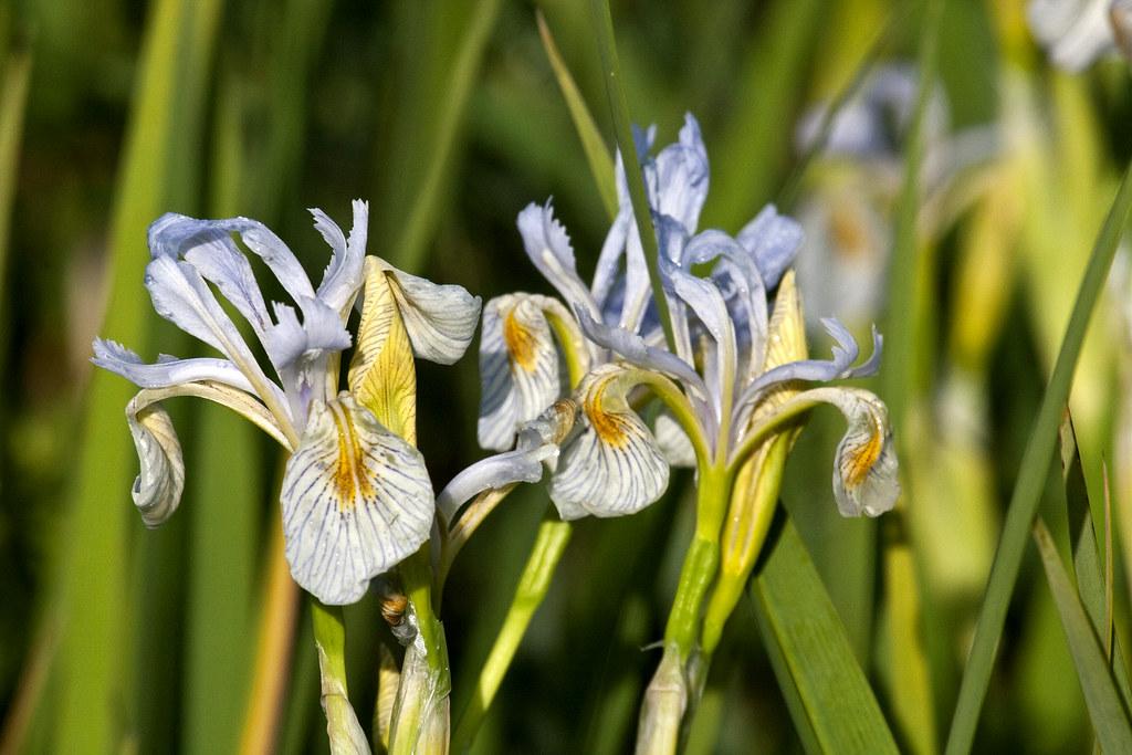 blue flag iris, Iris versicolor,