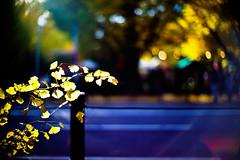 sunshine avenue (moaan) Tags: life street leica trip travel light sunlight color sunshine yellow digital 50mm gold tokyo afternoon dof bokeh f10 utata 東京 noctilux avenue hue gingko meijijingu 2010 m9 brightyellow inlife quietafternoon 明治神宮外苑 leicanoctilux50mmf10 outergarden leicam9 thegingkotreeroadsidetrees gettyimagesjapanq1 gettyimagesjapanq2