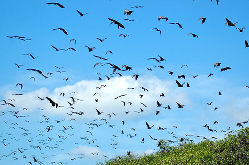 Riung Flying Foxes