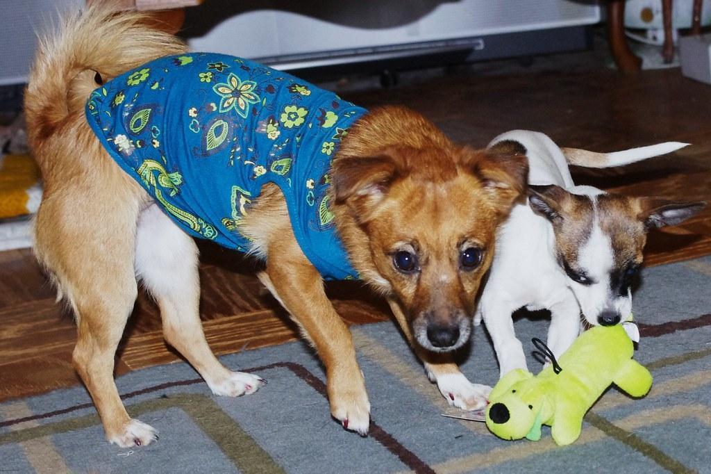 Cool Pom Canine Adorable Dog - 5263868765_a32c4c3d33_b  Photograph_952099  .jpg
