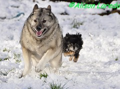 Dog Race (alison laredo) Tags: dog snow chihuahua race races runing elkhound wwwalisonlaredocom
