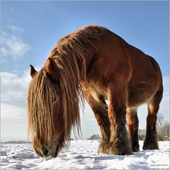 Draft horse (Frank van de Loo) Tags: schnee winter horse snow holland netherlands caballo cheval vinter hiver nieve sneeuw nederland thenetherlands neve invierno neige inverno paysbas cavallo cavalo pferd sn niederlande paard noordbrabant drafthorse knol hollande gilzeenrijen dieniederlande hollanda trekpaard molenschot kikkerperspectief dsc4194 lijndonk chevalderait