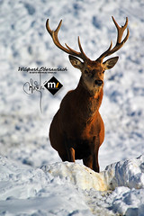December 20th ~ day 3 ~ the king (Bazalai) Tags: winter austria tirol stag wildpark oberaurach mariusvasiliu terradesign bazalai