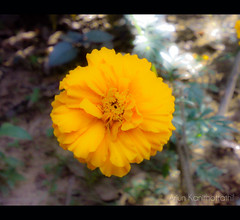 Each flower is a soul opening out to nature. (arjun kanithottathil) Tags: flower nature beauty kerala yellowflower niceflower kannur kalliasseri arjunkanithottathil chendumallika