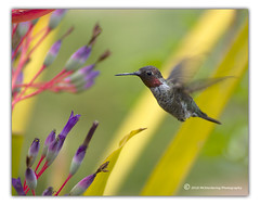 Hummingbird #2 (mcherdering) Tags: hummingbird pentax bromeliad smc manualfocus rubythroated k10d catchinfocus mikeherdering mcherdering