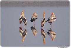 painted stork (Gurusan2010) Tags: greetings tamilnadu paintedstork sigma120400 sigmaapoteleconverter2xex