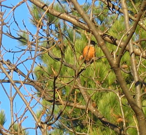 naturenotes birdpinedec20