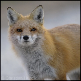 curious fox (EXPLORED)