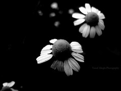 The Last Flowers of The Garden of Darkness  (yusuf_alioglu) Tags: world flowers blackandwhite white black flower macro nature colors blackbackground turkey garden dark peace darkness earth trkiye panasonic daisy margarita marguerite macroshot margherita blackandwhitephotography yusuf planetearth iek iekler papatya doa darkbackground tokat  lastflowers planetworld alioglu panasonicdmcls80 yusufaliolu yusufalioglu  unbornart yusufaliogluphotography weloveyoutom imissyoutom karanlkbahe thelastflowersofthegardenofdarkness thegardenofdarkness soniekler karanlkbaheninsoniekleri