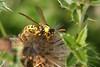 Feldwespe spec. (ernst.ruhe) Tags: insekten insecta pterygota apocrita polistinae feldwespe feldwespen ernstruhe fluginsekten faltenwespen taillenwespen vespoidae vespoida