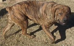 My Rag Doll (muslovedogs) Tags: mastiff rottweiler dolly mastweiler