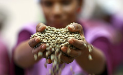 Coffee Handler with Beans from Timor Cooperative (United Nations Photo) Tags: coffee employment jobs unitednations organic unphoto dili coffeebeans timorleste cashcrop