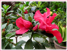 Beautiful rose-pink Rhododendron simsii or Azalea indica in our garden
