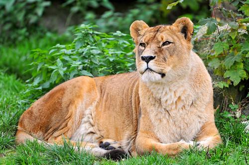 [フリー画像] 動物, 哺乳類, ネコ科, ライオン, 201101091700
