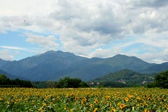 Sunflowers Epiphany (! .  Angela Lobefaro . !) Tags: trip travel italy alps leaves birds clouds montagne landscape countryside flying interestingness italia nuvole country uccelli explore piemonte cielo sunflowers sunflower chateau nuages biella frontpage alpi idyllic piedmont epifania girasole chateaux allrightsreserved threekings italians happynewyear magi girasoli epiphany mountans explored natuzzi biellese holidaysvacanzeurlaub angiereal angelamlobefaro riproduzioneriservata