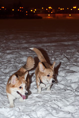 50/50 Day 6 (Mazelo) Tags: winter dog snow suomi finland 50mm corgi nikon welsh jyvskyl 5050 d90 project50 twittographers