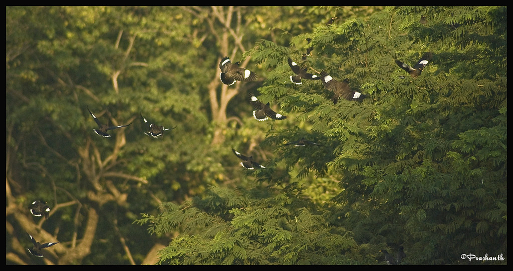 Common Mynas in Flight