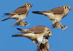 (splinx1) Tags: blue light sky color bird art nature collage composite composition colorado pentax masks handheld layers americankestrel bouldercolorado photoshop7 pentaxkx falcosparverius fieldguide graphire4 furburger femaleamericankestrel smcpda55300mmf458ed slbfeeding pentaxart