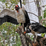 20101229_BZE Zoo_King Vulture_2521.jpg thumbnail