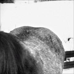 horse_021 (db | photographer) Tags: horse france monochrome square geotagged cheval blackwhite nikon poetry noir dof cs2 noiretblanc bokeh magic damien adobe squareformat format savoie tamron blanc f28 mane champ pdc deepoffield carr photosohop noirblanc croup hautesavoie carre profondeur phaseone adobephotoshopcs2 d80 crinire captureone profondeurdechamp 1750mm tamron1750mm criniere tamron1750mmf28 xrdi bokehlicious nikond80 formatcarr croupe formatcarre captureone4 damienbottura bottura wwwdamienbotturafr tamron1750mmf28xrdi magicsquarepoetry maugny geo:lat=46309977 geo:lon=64744