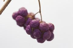 cluster of purple (knitalatte11) Tags: winter red orange snow macro tree grey berries purple newengland persimmon cambridgema