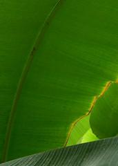 far far away (gatalinkica) Tags: light leaf away banana edge far
